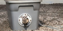 A three-month-old, male black-footed ferret kit sticks his head, neck and front two paws out of a grey storage bin that acts as a den for the ferrets