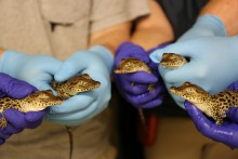 tiny newborn crocodiles