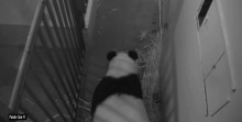 panda in den