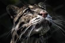 Photo of a clouded leopard.