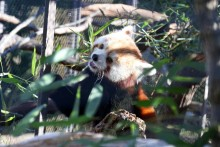 red panda in exhibit