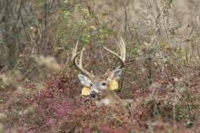 tagged deer