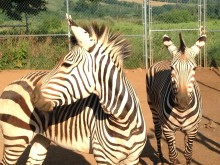 Hartmann's mountain zebras in a corral