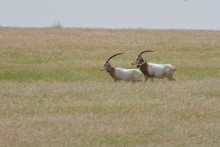 oryx running in the wild
