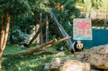 Giant panda Mei Xiang selects the Zhuazhou symbolizing luck and friendship on behalf of Bei Bei