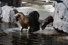 California Sea Lion Mom and Pup