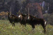 Three sable antelope standing in a field.
