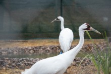 Two whooping cranes (large birds with long, thin legs, long necks, and pointed bills) explore their new habitat at the Smithsonian Conservation Biology Institute in Front Royal, Virginia