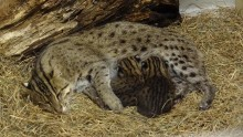 An adult female fishing cat named Elektra nursing her two kittens in a den covered with soft hay at the Smithsonian's National Zoo in 2012.