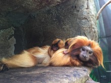 Izzy, a golden lion tamarin resting with her two infants.