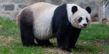 Female giant panda Mei Xiang surveys her yard at the David M. Rubenstein Family Giant Panda Habitat.