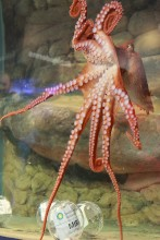 pink octopus with outstretched arms
