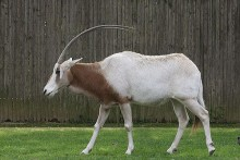 oryx walking