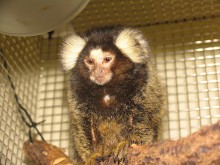 small monkey with prominent tufts on its ears