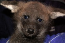 Photo of a maned wolf pup.