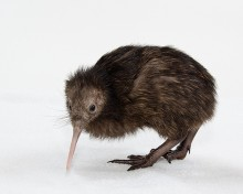 small brown kiwi