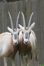 two oryx