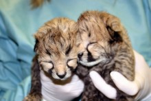 two cheetah cubs closeup