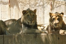 two lions lying