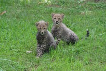 cheetah cubs scampering