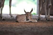 hoofed animal resting