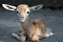 baby dama gazelle