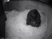 bear cubs in den