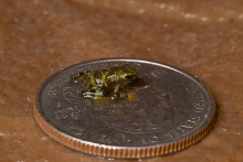 tiny frog dwarfed by quarter