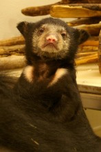 sloth bear cub upright