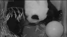panda with tiny newborn cub