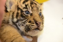 closeup of tiger cub head