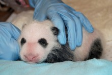 panda cub with black and white patterning coming in