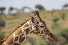 Giraffe with satelite tracking device. Photo courtesy of Ken Bohn, San Diego Zoo Global.
