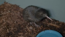 A brown kiwi chick at the Smithsonian Conservation Biology Institute.