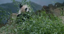 Giant panda Mei Xiang eating a pile of bamboo in her indoor habitat at the Smithsonian's National Zoo.