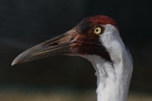 A male whooping crane named Alta at the Smithsonian Conservation Biology Institute.