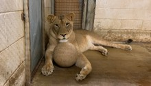 Amahle, the Zoo's 6-year-old female lion, lays with one of the enrichment balls in an indoor enclosure.