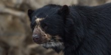 Andean bear Billie Jean in her habitat at the Smithsonian's National Zoo.