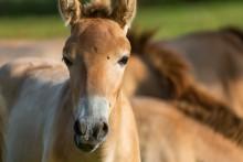 A Przewalski's horse colt.