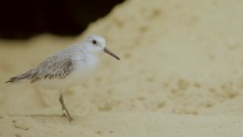 Sanderling Armstrong on the sand