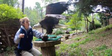 Animal keeper, Ashley Graham, crouches next to a wooden stool-like perch. Her left arm rests on the perch. Male bald eagle, Tioga, perches on Ashley's arm with his wings spread, facing her.