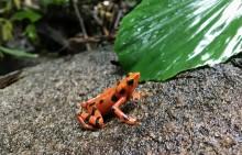 A small orange variable harlequin frog, Atelopus varius, sitting on a rock