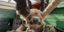 Southern two-toed sloth, Athena, hangs from the ceiling of her enclosure. Her front left arm is extended toward the camera, reaching to grab it.