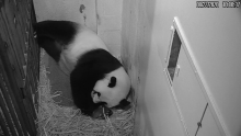 Giant panda Mei Xiang cradles her newborn cub Aug. 22, 2020. The cub was born Aug. 21, 2020, at 6:35 p.m.