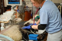Anne Gilewski, registered veterinary technician, checks giant panda cub Bei Bei's vital prior to surgery.