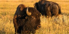 American bison graze on the American Prairie Reserve in Montana.