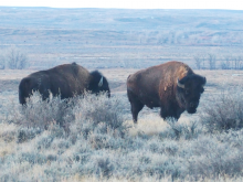 Two bison with thick fur, big shoulder humps, large heads and short, curved horns stand in grass and shrubs at American Prairie Reserve in Montana