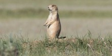 A black-tailed prairie dog stands on its hind legs in short grasses on the plains of Montana