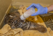 A Great Cats keeper supplemental feeds the Sumatran tiger cub born July 11, 2017.