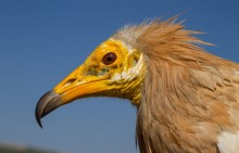 Adult Egyptian vulture with a yellow face and light brown plumage on its head and neck.
